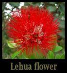 ohia-lehua-tree-flower 3