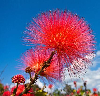 ohia-lehua-tree-flower