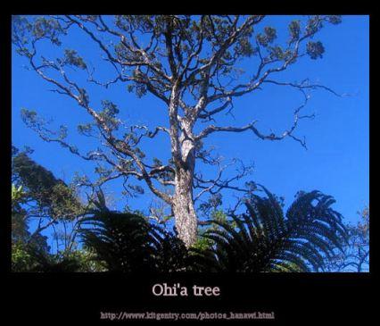 ohia-lehua-tree