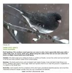 dark-eyed_junco too