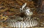 snake three
