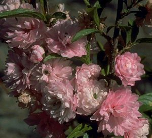 come to my window 06 Prunus%20glandulosa%20Rosea