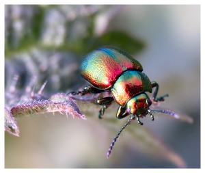 rainbow COLORED INSECT -metallic-beetle