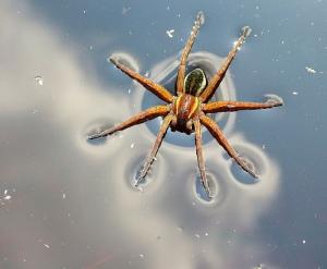 water-spider