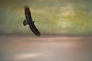 golden eagle one lone eagle