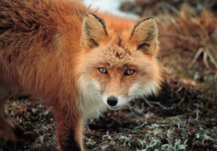 red_fox_close