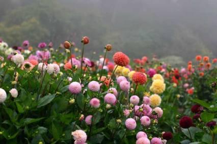 tubers dahlias_fog