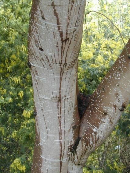 Acacia dealbata trunk 1