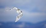 2948_snowy_owl