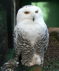 snowy-owl-facts31